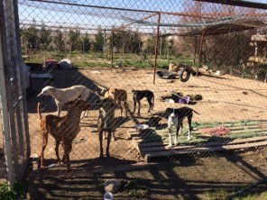 galgos dogs spain